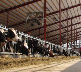 Dairy cows are fed soybean meal as a part of balanced nutrition